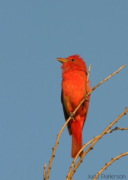 Summer Tanager, Konza Prairie, Kansas, United States