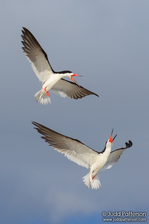Black Skimmer, Tigertail Beach, Collier County, Florida, United States