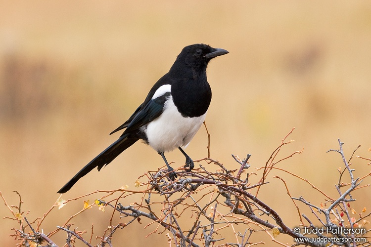 Black-billed Magpie, Rocky Mountain National Park, Colorado, United States
