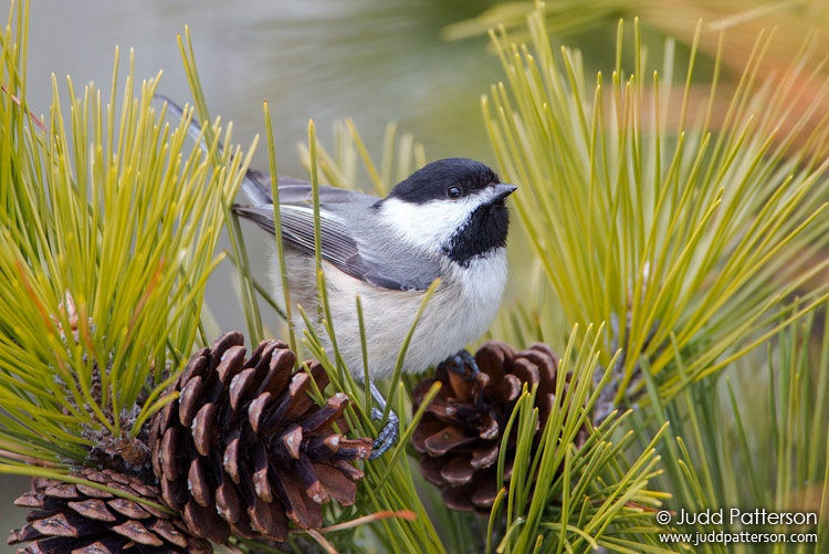 Black-capped Chickadee, Heckscher State Park, New York, United States