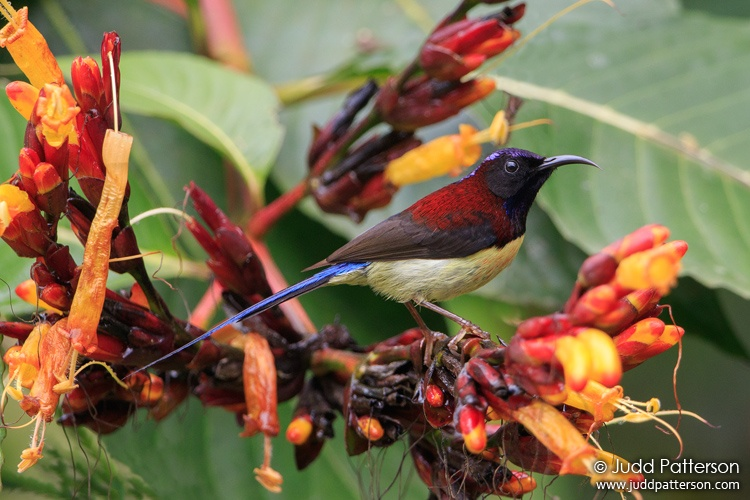 Black-throated Sunbird, Mr Daeng's Cafe, Chiang Mai, Thailand