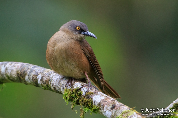 Brown Trembler, Guadeloupe National Park, Guadeloupe