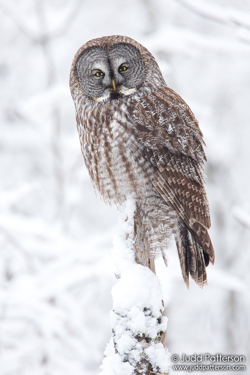 Great Gray Owl, Minnesota, United States
