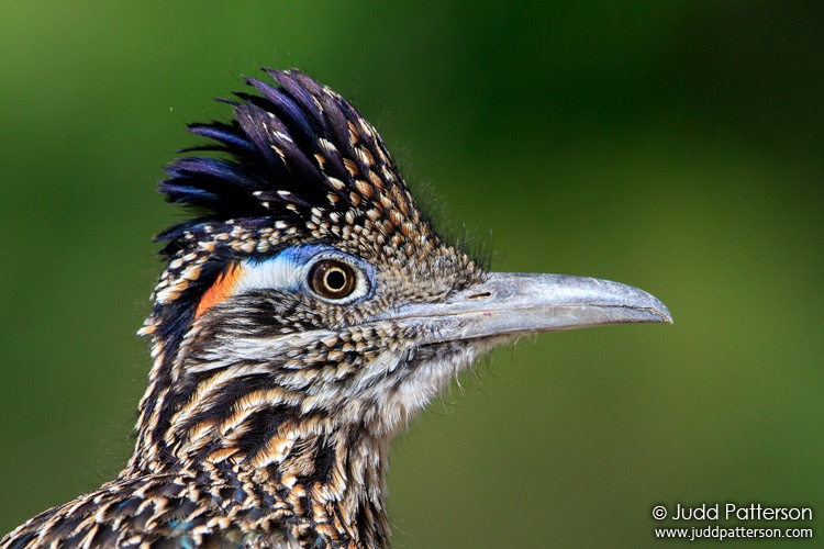 Greater Roadrunner, Big Bend National Park, Texas, United States