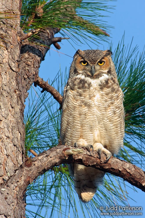 Great Horned Owl, Everglades National Park, Florida, United States
