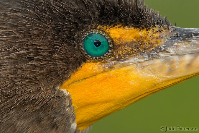 The Eye of the Cormorant, Everglades National Park, Florida, United States