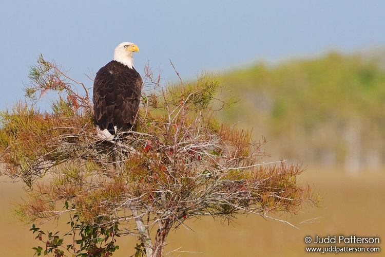 Bald Eagle, Everglades National Park, Florida, United States