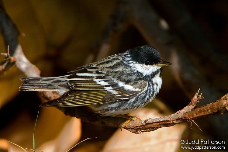 Blackpoll Warbler, Dry Tortugas National Park, Florida, United States