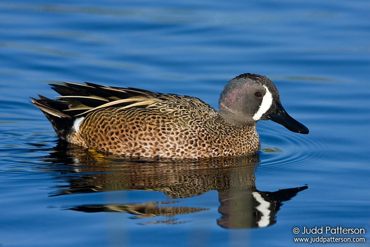 Blue-winged Teal, Viera Wetlands, Florida, United States
