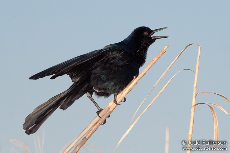 Boat-tailed Grackle, Everglades National Park, Florida, United States