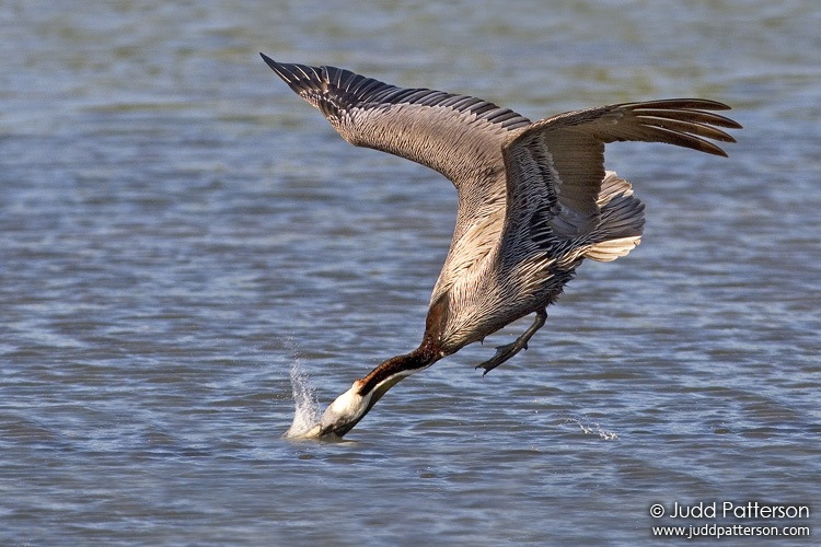 Brown Pelican, Little Estero Lagoon, Florida, United States