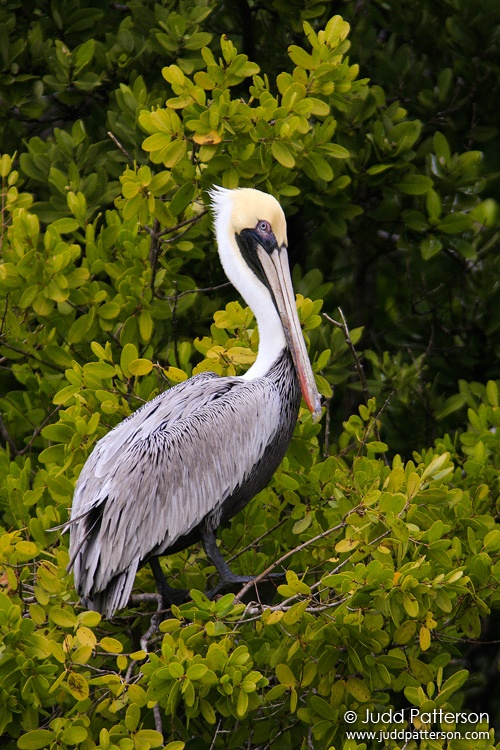 Brown Pelican, Everglades National Park, Florida, United States