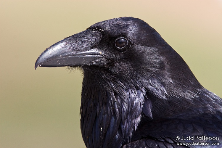 Common Raven, Olympic National Park, Washington, United States