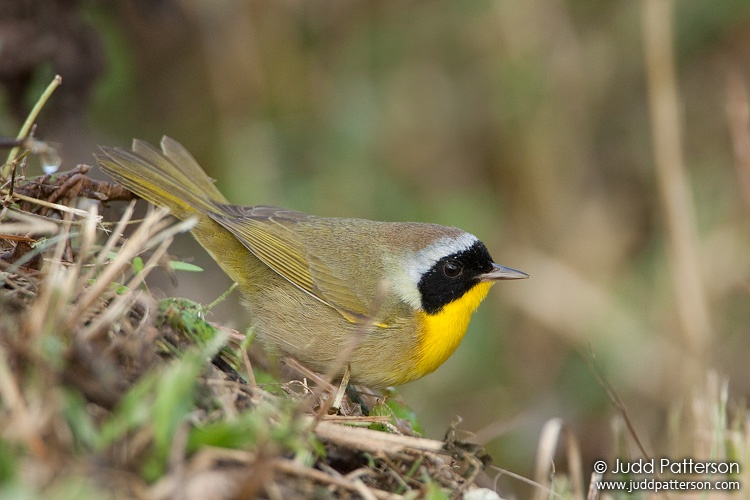 Common Yellowthroat, Everglades National Park, Florida, United States
