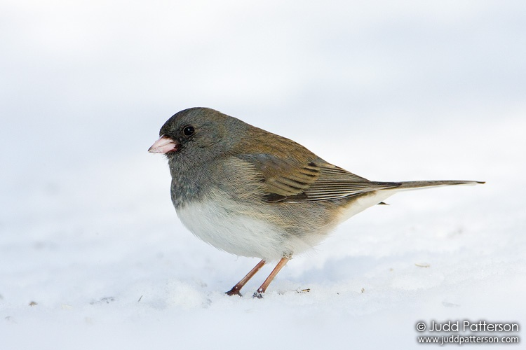 Dark-eyed Junco, Lakewood Park, Salina, Kansas, United States