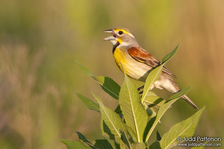 Dickcissel, Tallgrass Prairie National Preserve, Kansas, United States