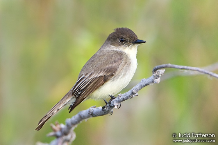 Eastern Phoebe, Everglades National Park, Miami-Dade County, Florida, United States