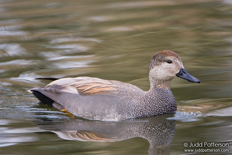 Gadwall, Ridgefield National Wildlife Refuge, Washington, United States