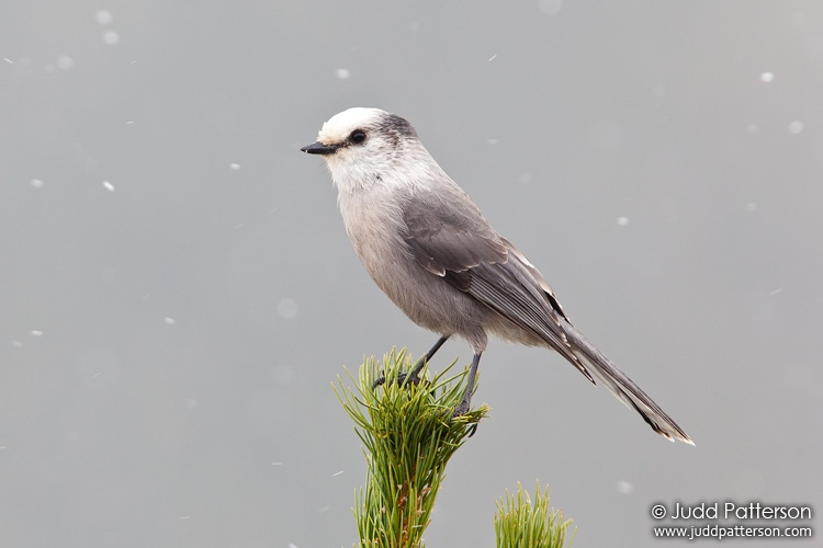 Gray Jay, Rocky Mountain National Park, Colorado, United States
