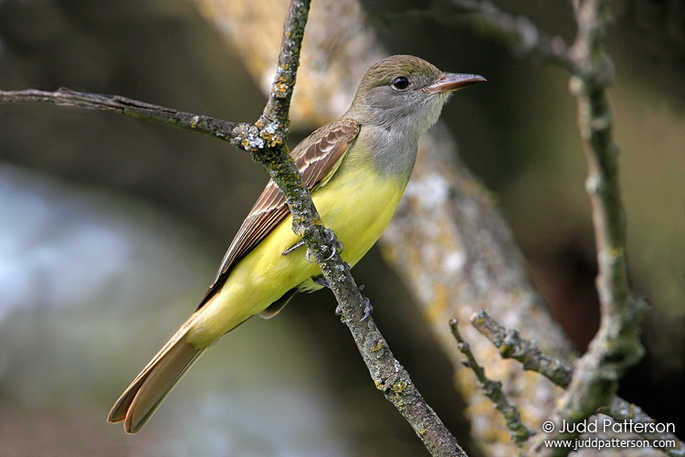 Great Crested Flycatcher, Konza Prairie, Kansas, United States
