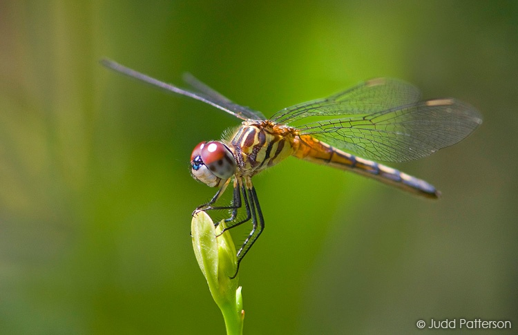 Blue Dasher (female), Loxahatchee National Wildlife Refuge, Florida, United States