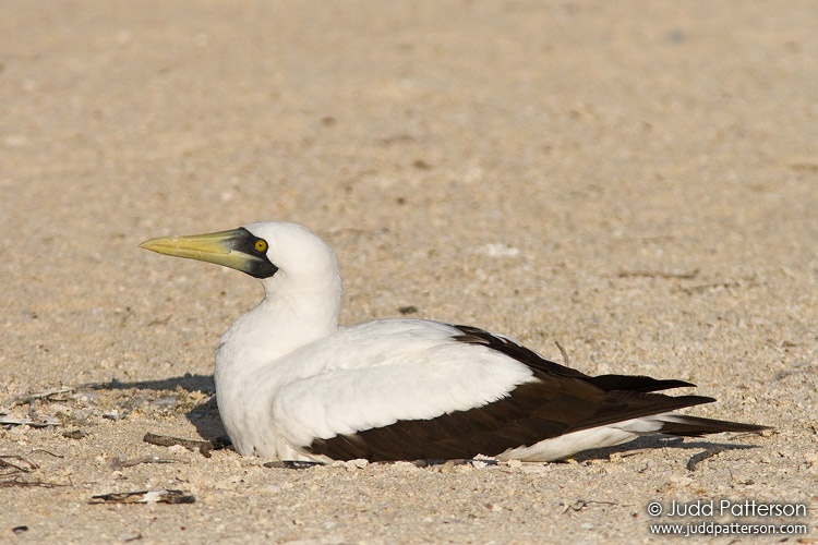 Masked Booby, Dry Tortugas National Park, Florida, United States
