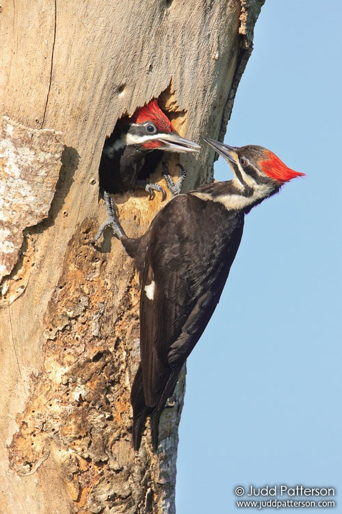 Pileated Woodpecker, Everglades National Park, Monroe County, Florida, United States