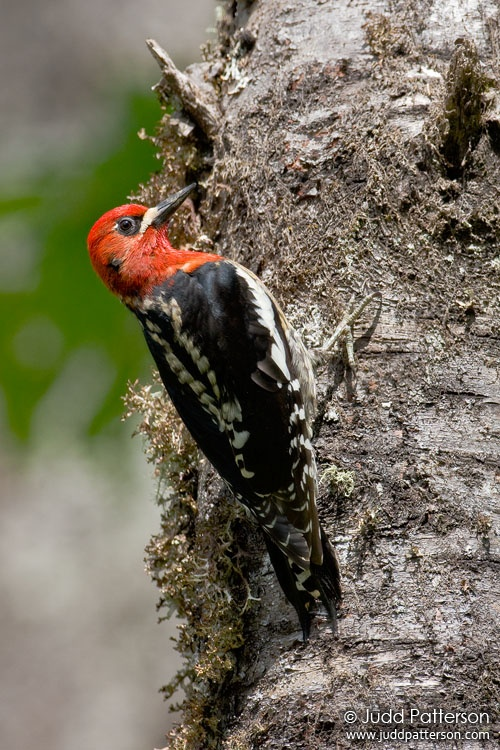 Red-breasted Sapsucker, Corvallis, Oregon, United States