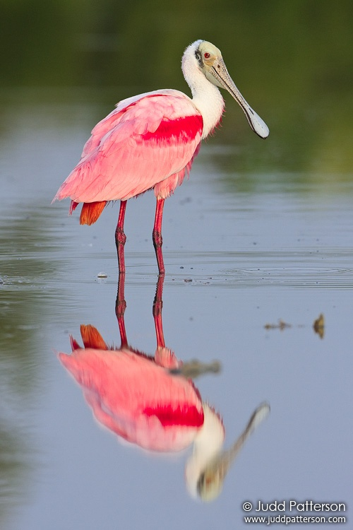 Roseate Spoonbill, Everglades National Park, Florida, United States