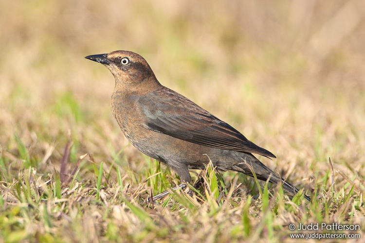 Rusty Blackbird, Everglades National Park, Florida, United States