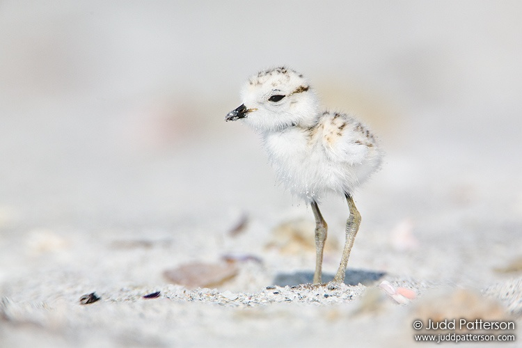 Snowy Plover, Sanibel Island, Florida, United States