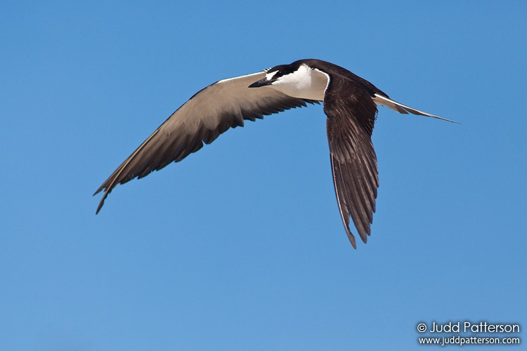 Sooty Tern, Dry Tortugas National Park, Florida, United States