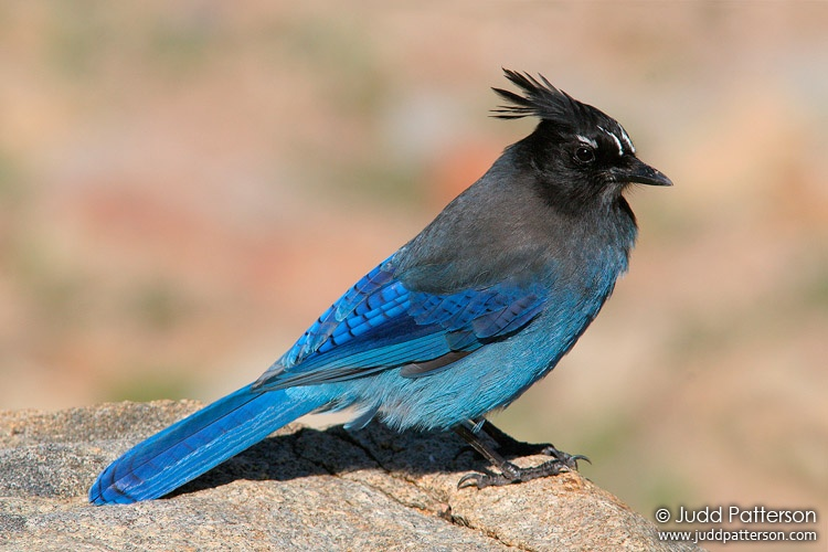 Steller's Jay, Rocky Mountain National Park, Colorado, United States