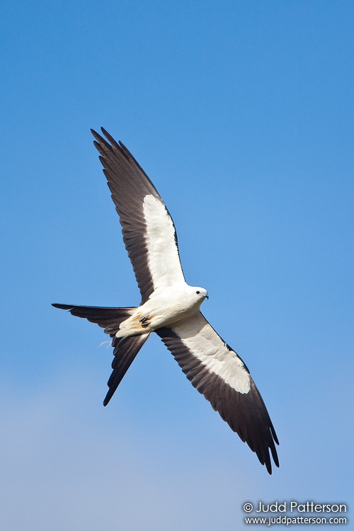 Swallow-tailed Kite, Everglades National Park, Florida, United States