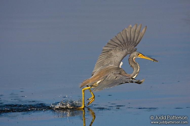 Tricolored Heron, Everglades National Park, Florida, United States