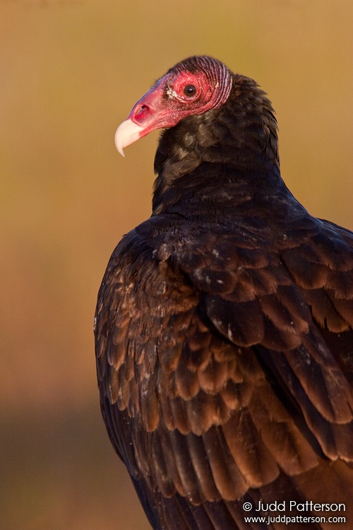 Turkey Vulture, Everglades National Park, Florida, United States