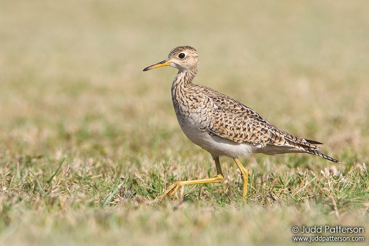 Upland Sandpiper, Dry Tortugas National Park, Florida, United States