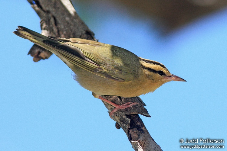 Worm-eating Warbler, Dry Tortugas National Park, Florida, United States
