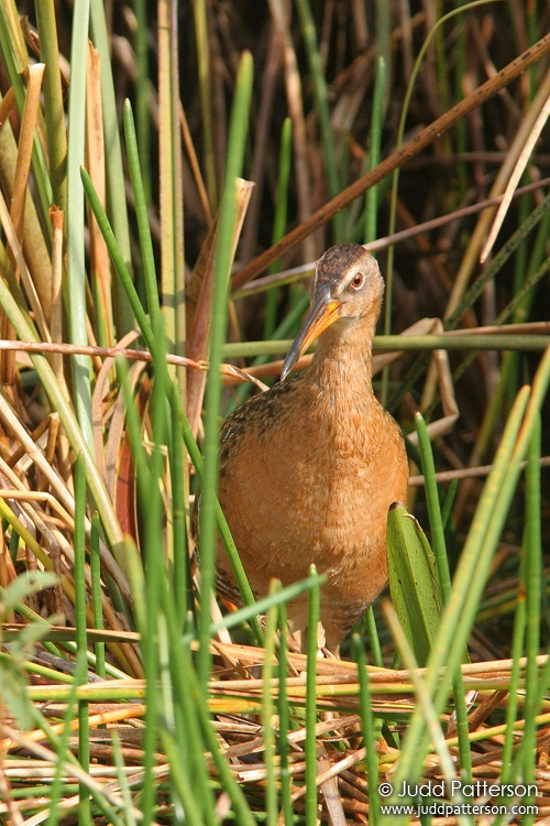 King Rail, Everglades National Park, Florida, United States