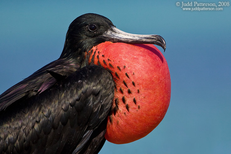 Magnificent Frigatebird, Dry Tortugas National Park, Florida, United States