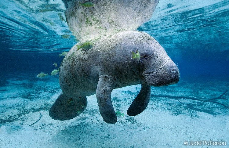 West Indian Manatee, Crystal River, Florida, United States