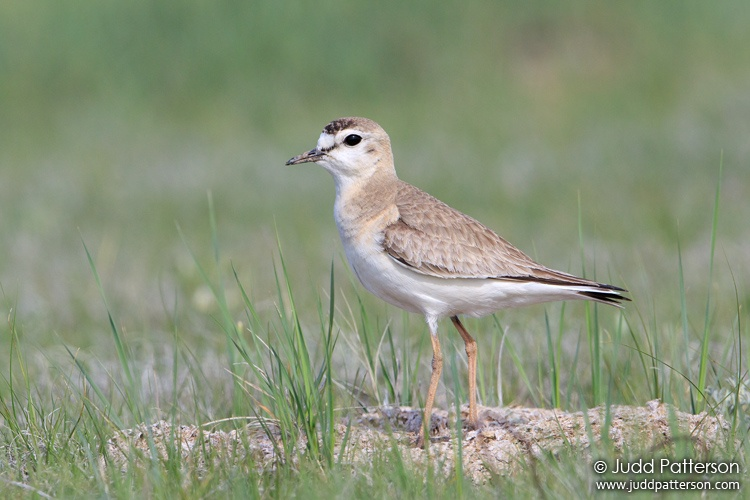 Mountain Plover, Pawnee National Grassland, Colorado, United States