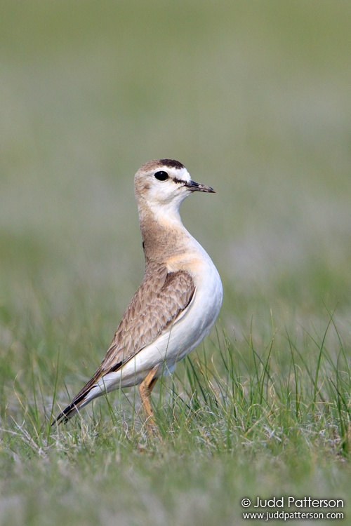 Mountain Plover, Pawnee National Grassland, Weld County, Colorado, United States