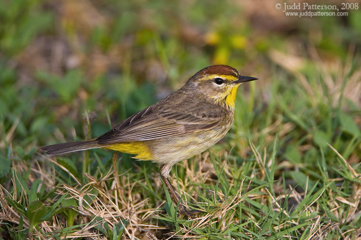 Palm Warbler, Dry Tortugas National Park, Florida, United States