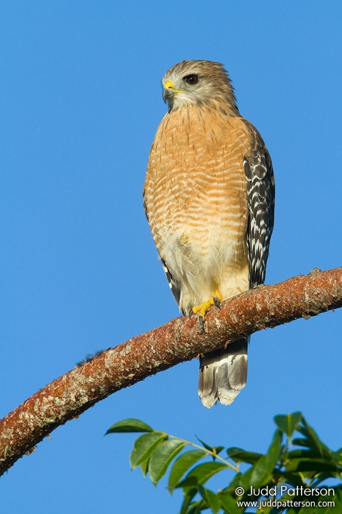 Red-shouldered Hawk, Everglades National Park, Florida, United States