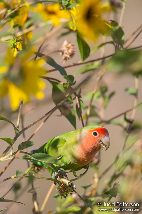 Rosy-faced Lovebird, Gilbert Water Ranch, Phoenix, Arizona, United States