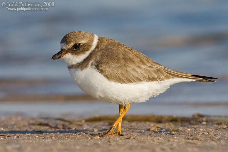 Semipalmated Plover, Fort De Soto Park, Florida, United States