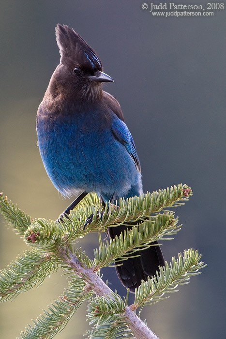 Steller's Jay, Mount Rainier National Park, Washington, United States