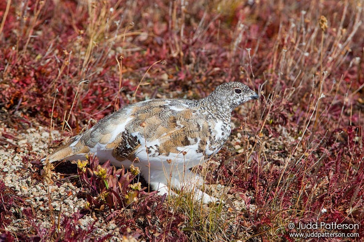 White-tailed Ptarmigan, White River National Forest, Colorado, United States