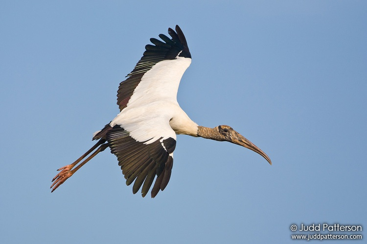 Wood Stork, Everglades National Park, Florida, United States